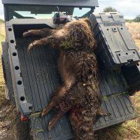 Texas seasonings hog